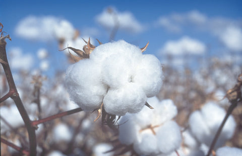 A cotton boll, which amazingly contains roughly 20,000 fibers attached to each seed.