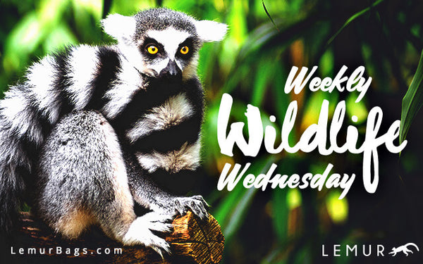 Lemur Bags - Weekly Wildlife Wednesday