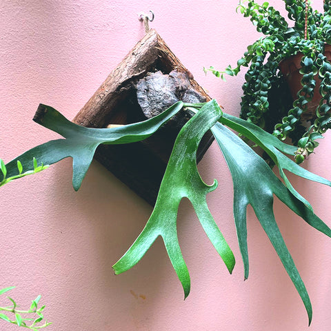 mounted staghorn, fern