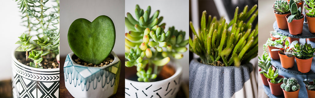 succulents, cacti, close up, potted plants,place to buy indoor plants, indoor planters, stylish, potted plants in Singapore, tumbleweed plants, plant stand, plant box, hanging macrame, showroom, Singapore, air plants