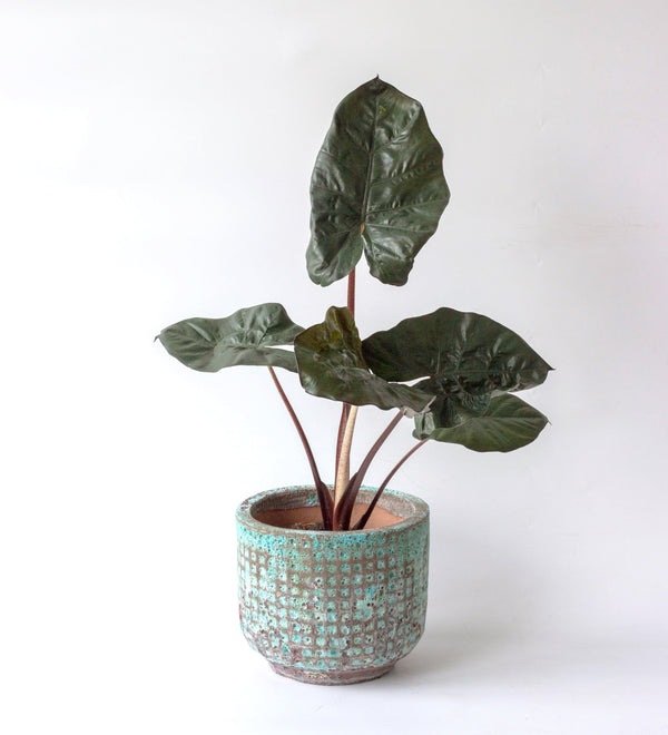 Alocasia sarawakensis 'Yucatan Princess' in Xi'an Planter