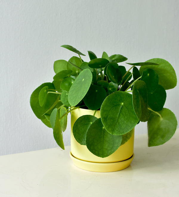Chinese Money Plant in Cylinder Pot