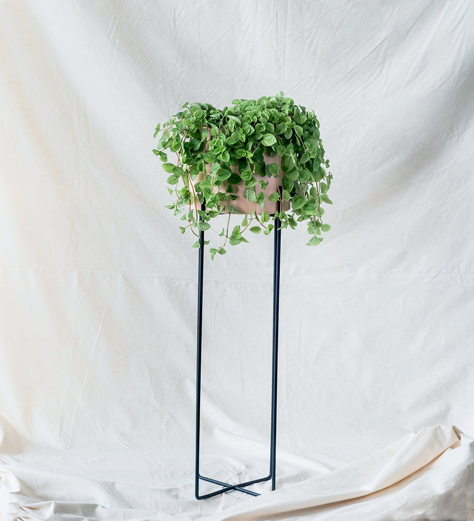 Swedish Ivy sat in pastel pink plant stand