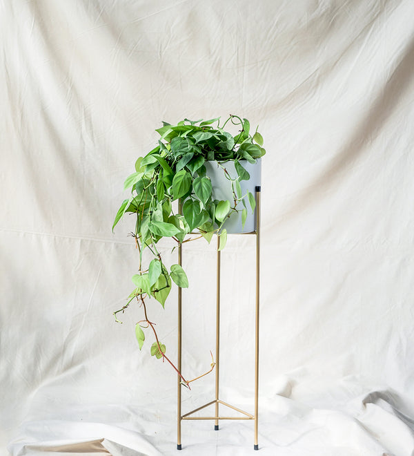 Classy looking plant and pot combination Pothos in white and gold stand