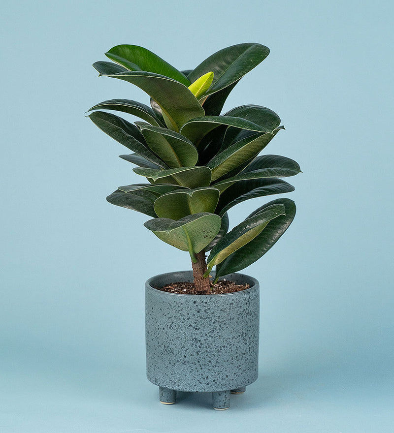 Rubber Plant in Blue Cape Town Planter