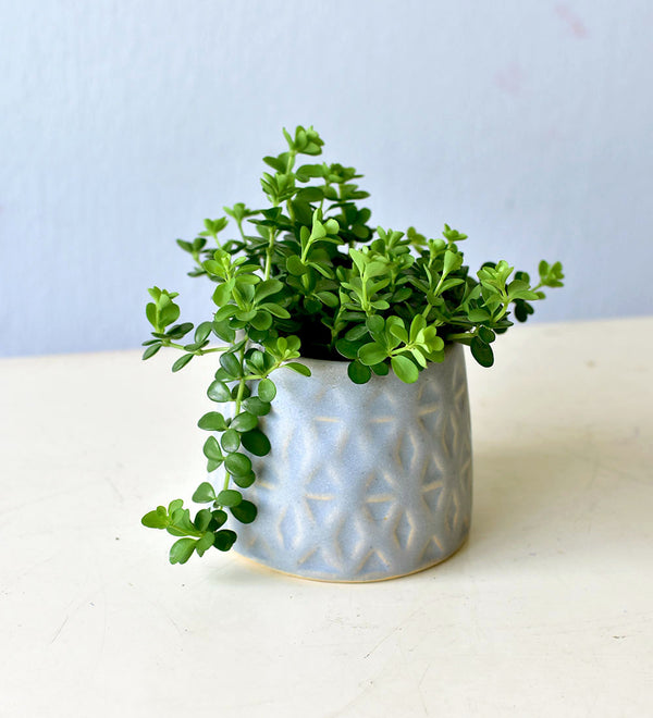 Peperomia Deppeana in Prism Pot
