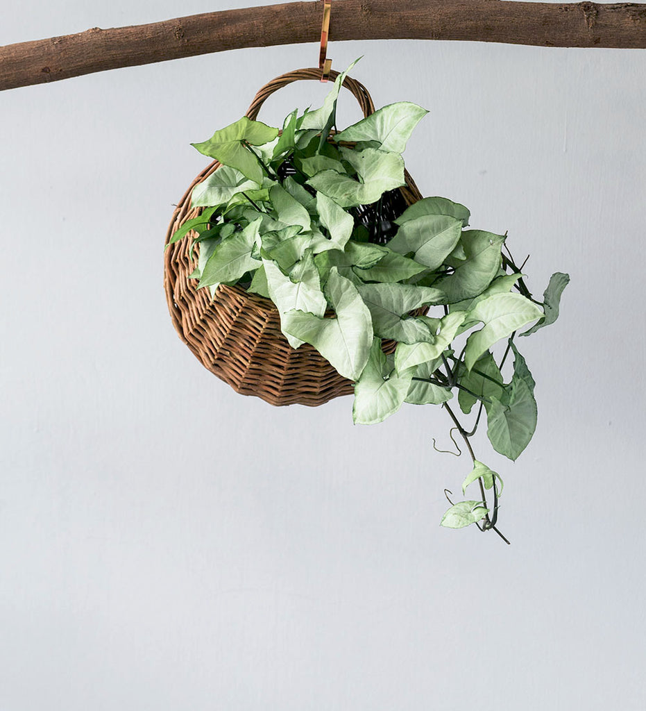 Syngonium plant spilling out of hanging basket