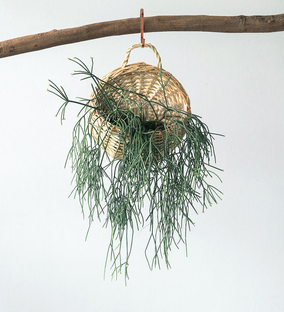 Rhipsalis in hanging basket suspended from branch