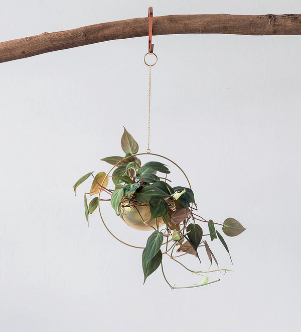 Philodendron Micans in hanging gold planter