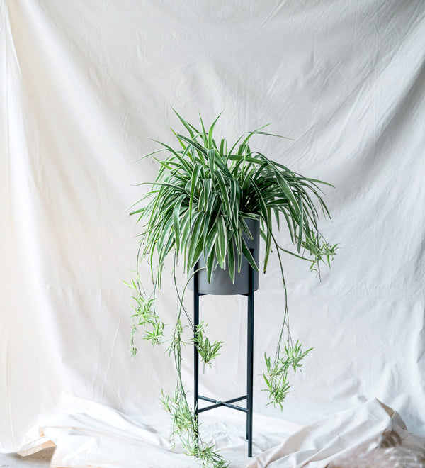 Spider Plant cascading from cement planter