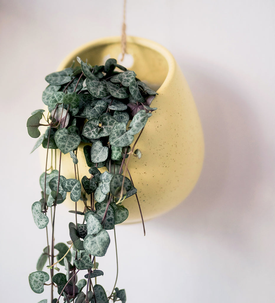 String of hearts plant cascading from yellow planter