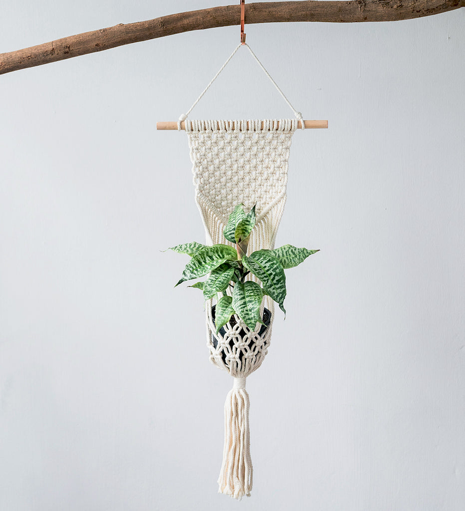 Beautiful star shaped houseplant in macrame plant hanger suspended from wooden branch
