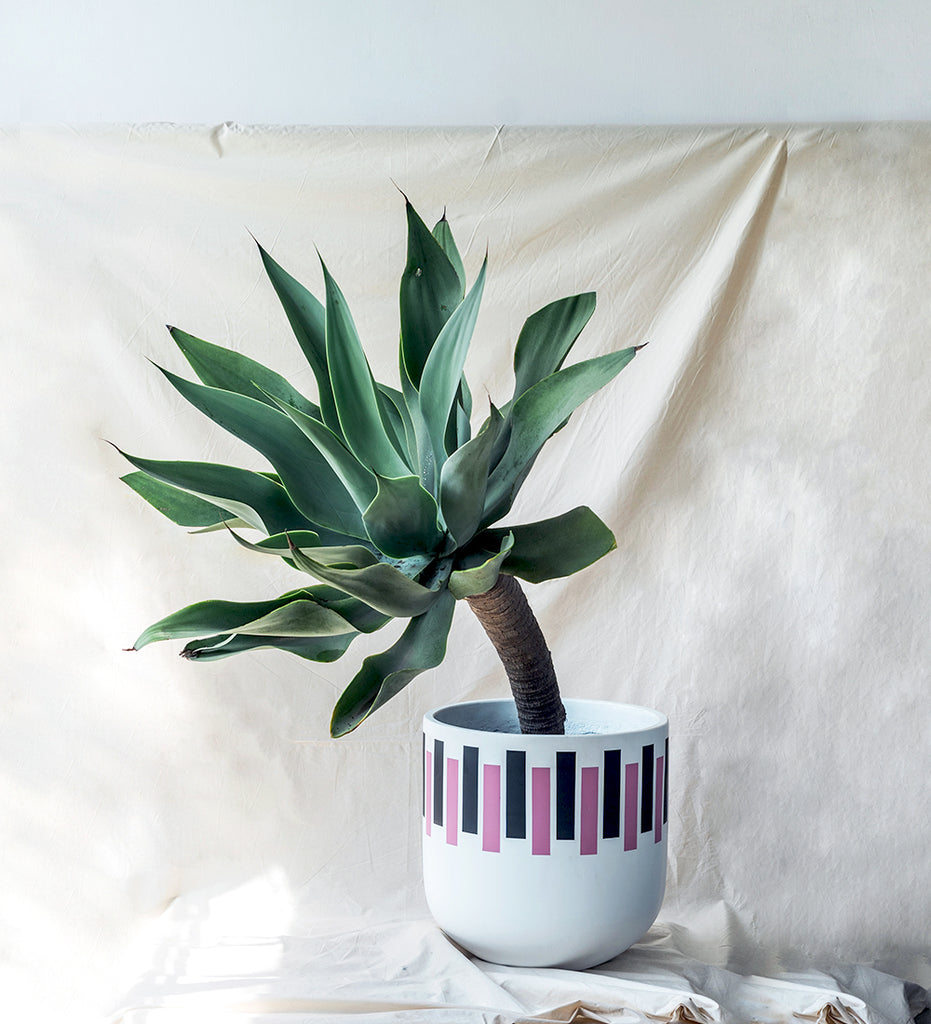 Amazing huge Agave plant potted in mid century modern design plant pot