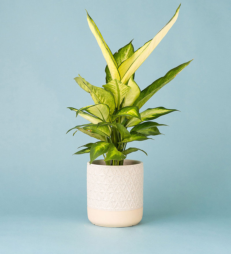 Potted Dumb Cane In Crochet Pot Cream