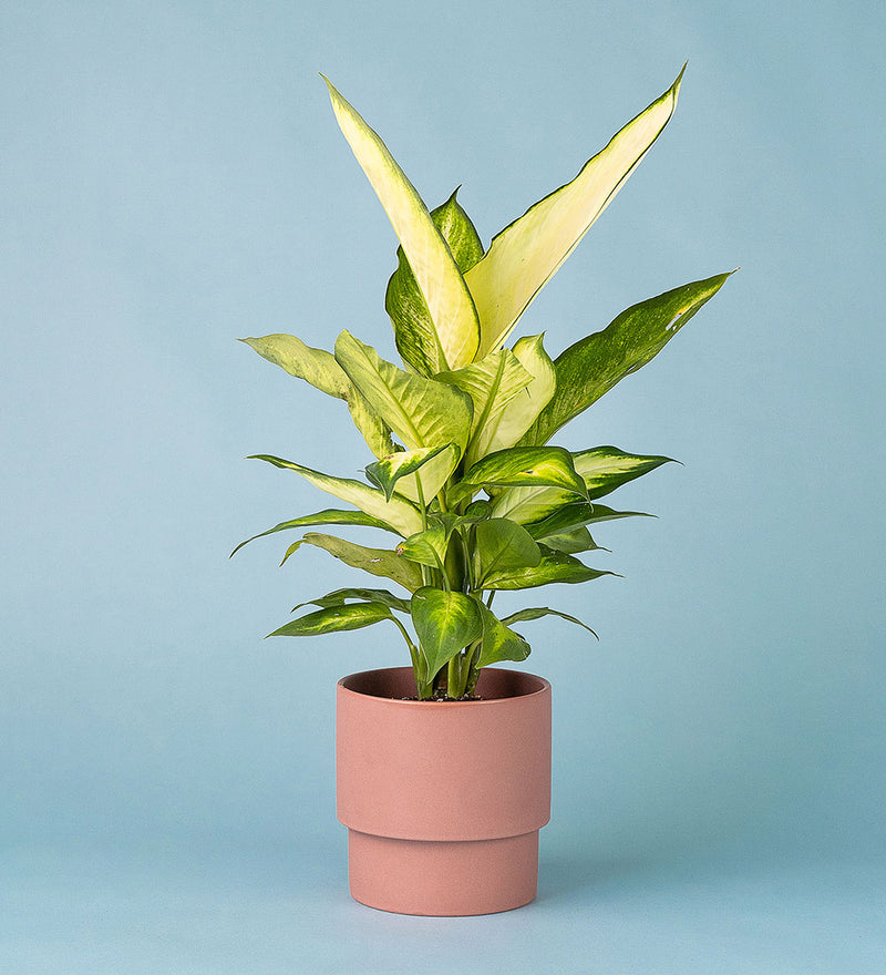 Potted Dumb Cane In Plinth Pot Pink