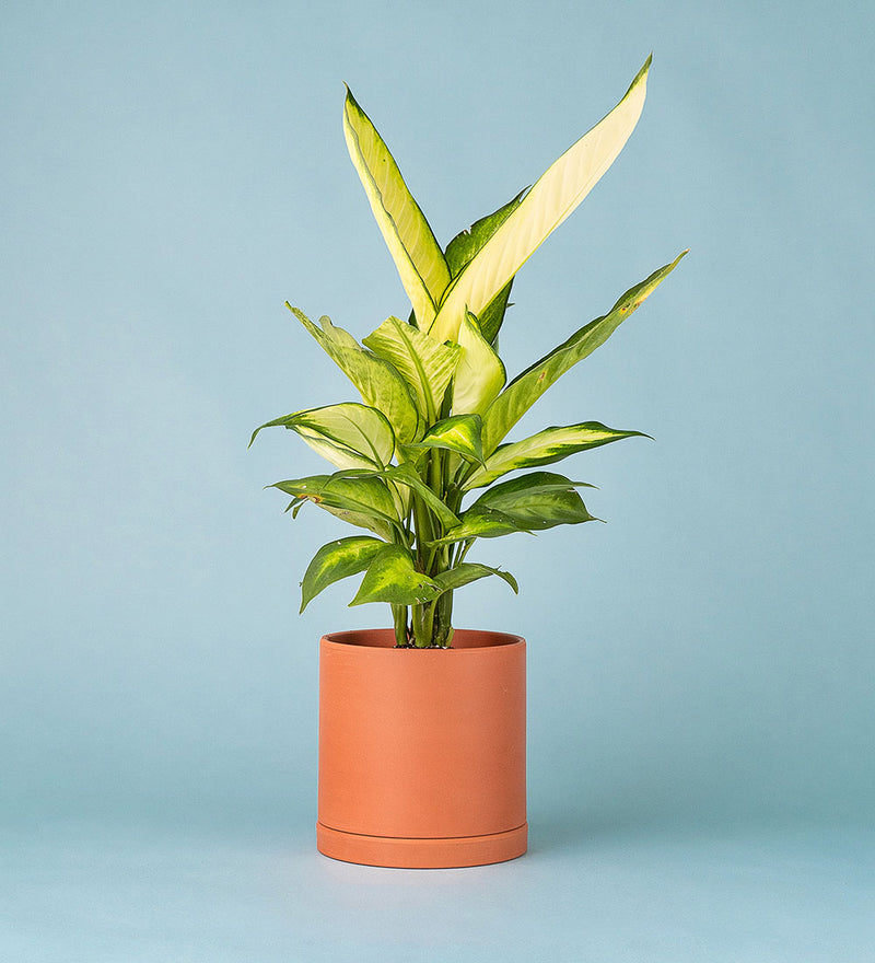 Potted Dumb Cane In Terracotta Cylinder Pot