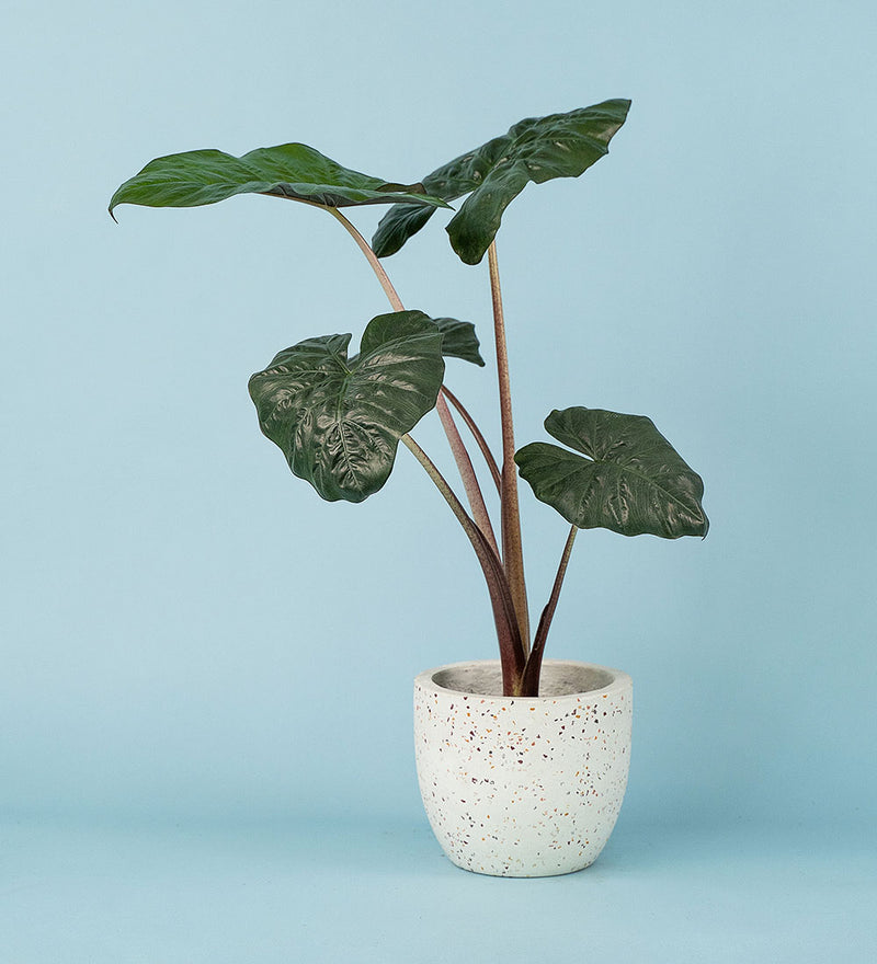 Potted Elephant Ear Plant In Egg Pot White