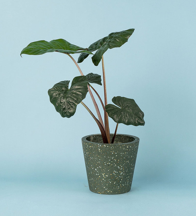 Potted Elephant Ear Plant In Terrazzo Pot Green