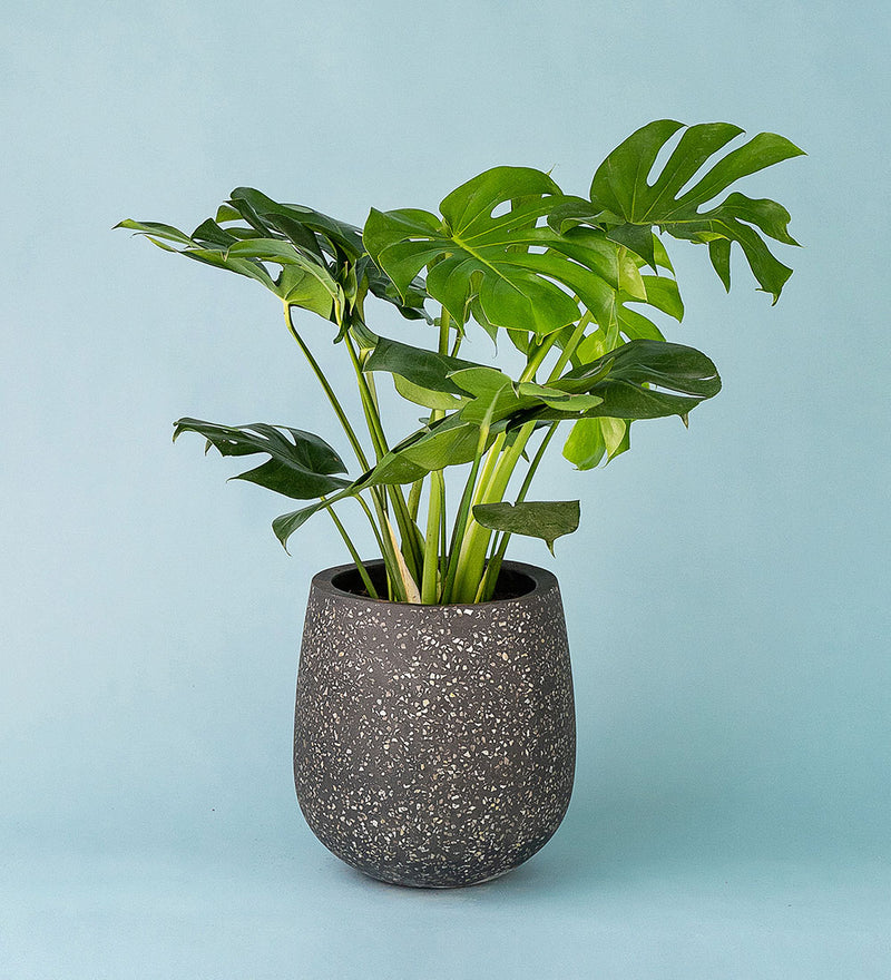 Potted Monstera Deliciosa In Little Tulip Pot Black
