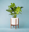 Potted Monstera Deliciosa In Mid Century Stand Large White