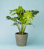 Potted Monstera Deliciosa In Terrazzo Pot Green