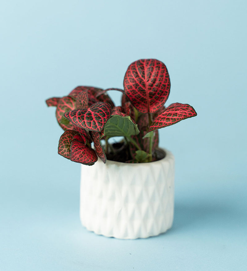 Potted Nerve Plant In Geometric White Pot B