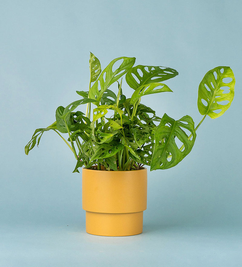 Potted Swiss Cheese Plant In Plinth Pot Small Mustard