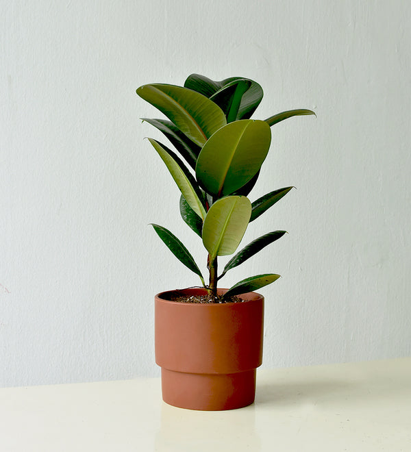 Robusta Rubber Plant in Chestnut Plinth Pot