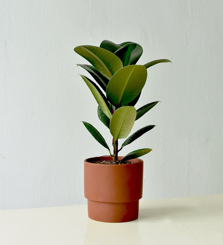 Robusta Rubber Plant In Chestnut Plinth Pot Tumbleweed Plants