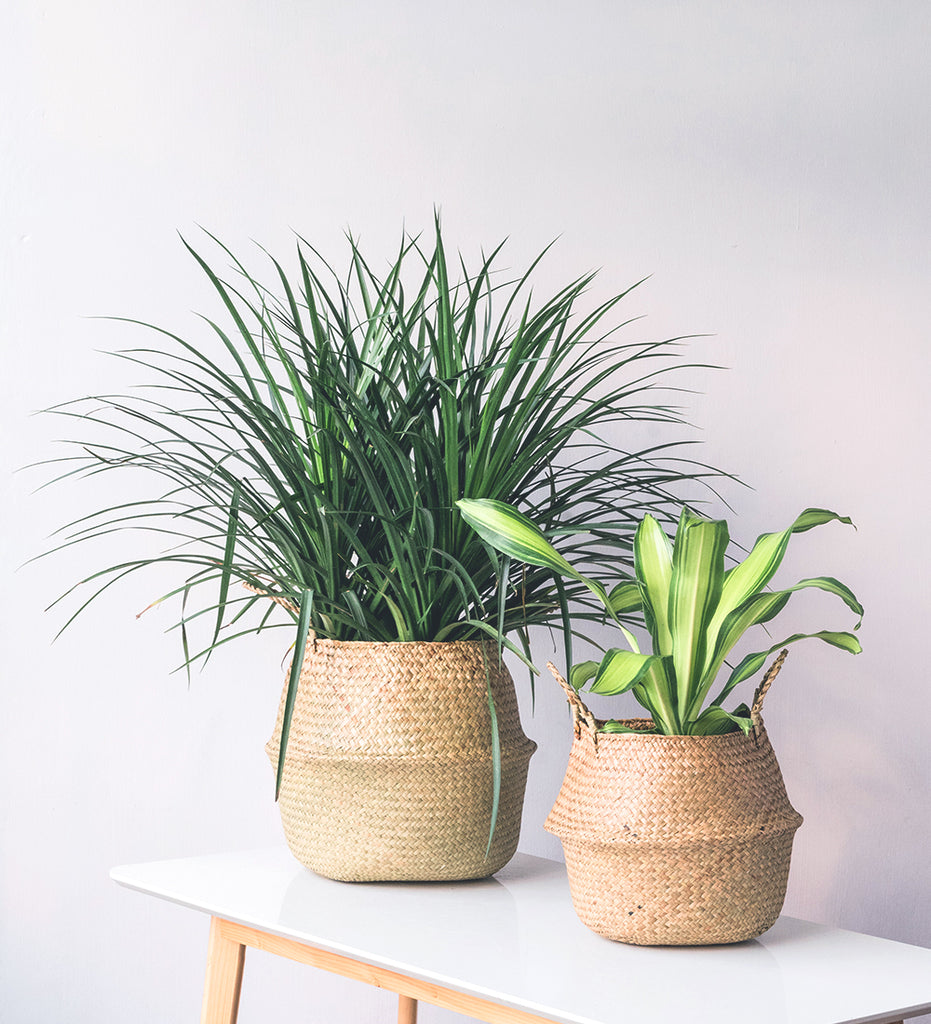 Bushy houseplants in seagrass basket planters