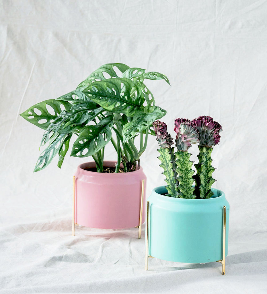Monstera Adansonii and Cactus in pink and green ceramic plant pots
