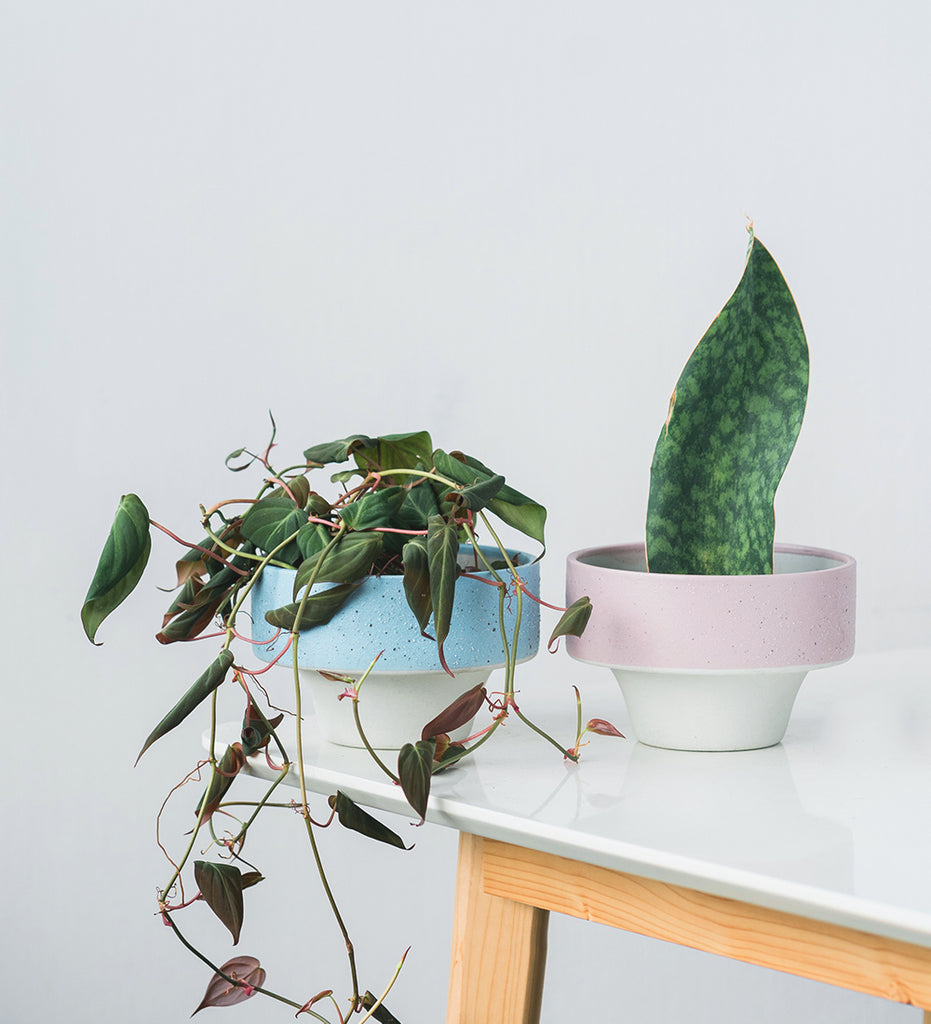 Super cool houseplants, Sansevieria Whale Fin and Philodendron Micans in blue and pink planters