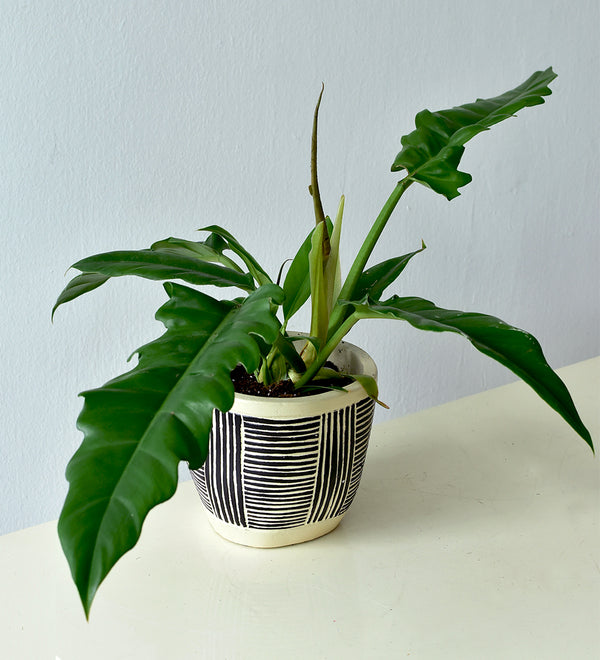 Philodendron Narrow Escape in Tribal Pot