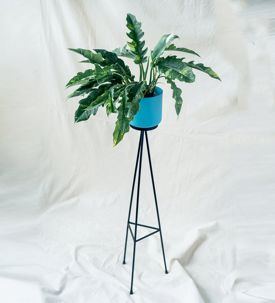Philodendron Ring of Fire in funky blue plant stand