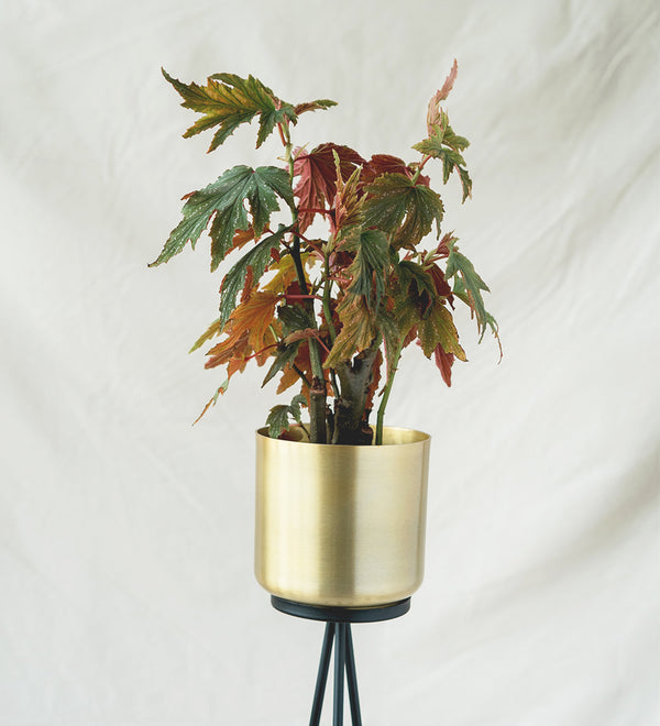 Beautiful red and green Begonia plant in brushed gold pot
