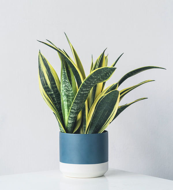 Lush Sansevieria houseplant in blue and white planter