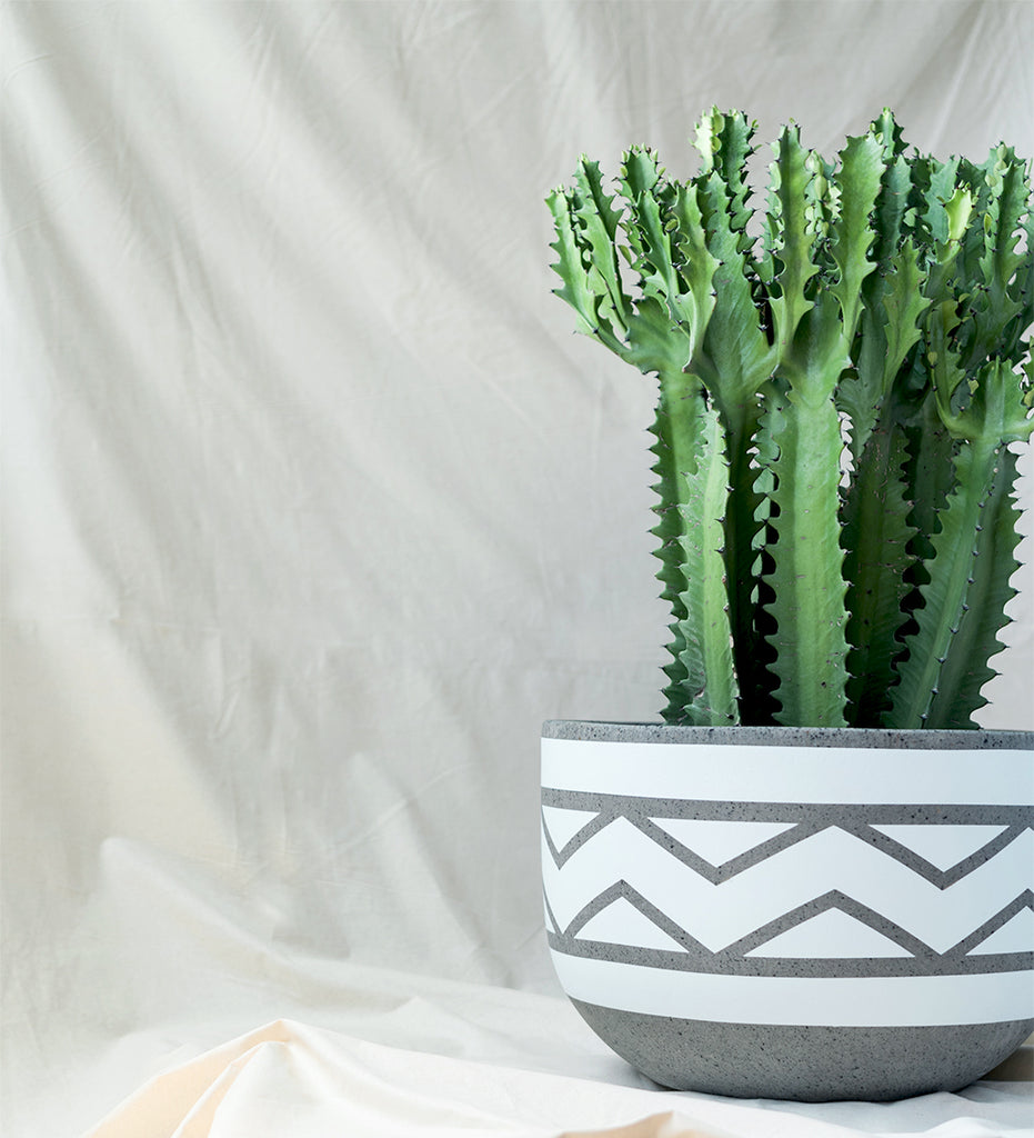 Huge Euphorbia cactus in geometric design plant pot