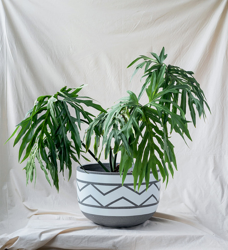 Super cool tropical hopuseplant, Philodendron Bipinnatifidun in white and grey planter