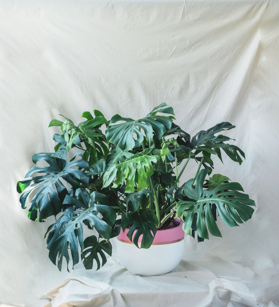 Huge lush Monstera Deliciosa in pink and white plant pot