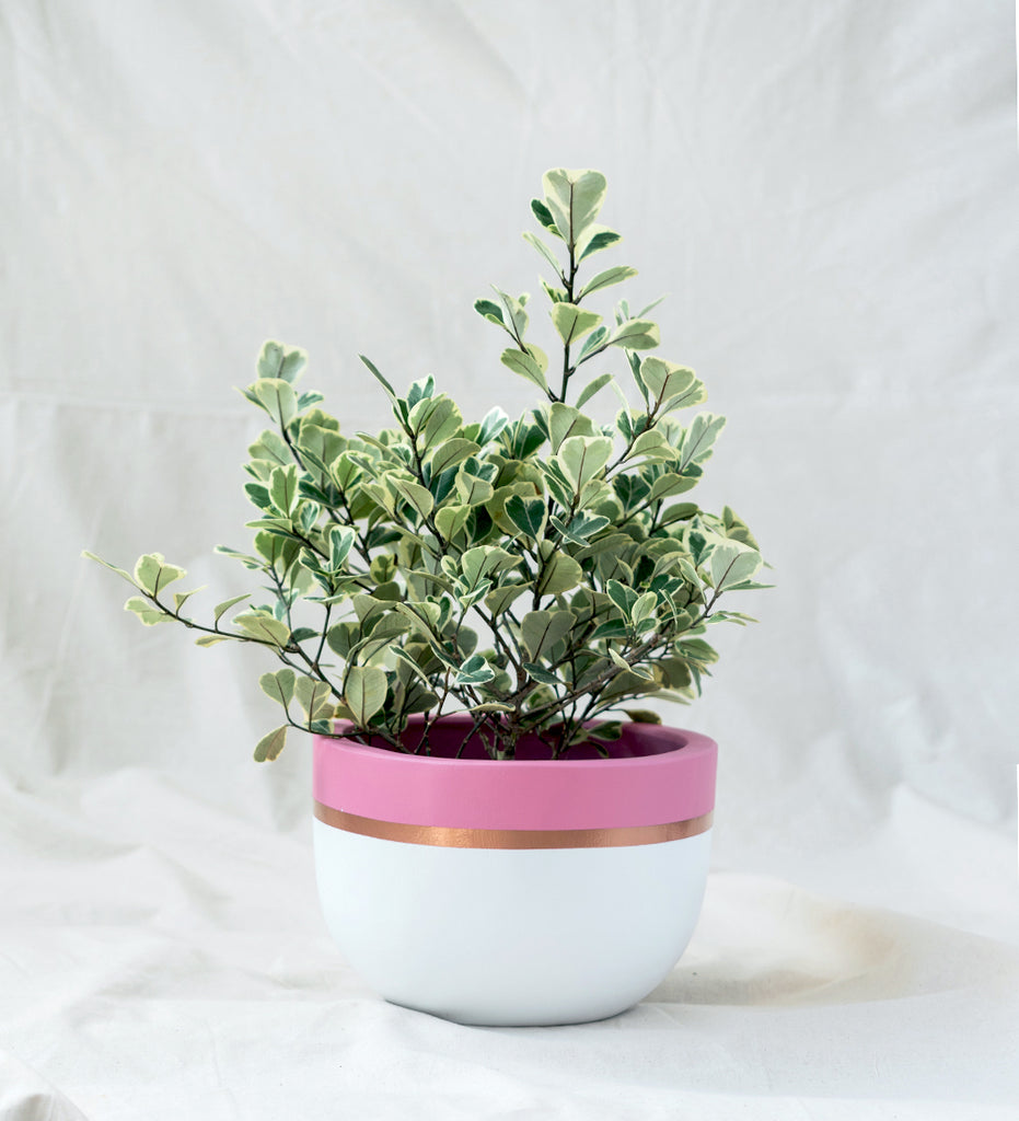 Big Ficus Triangularis in pink and white plant pot