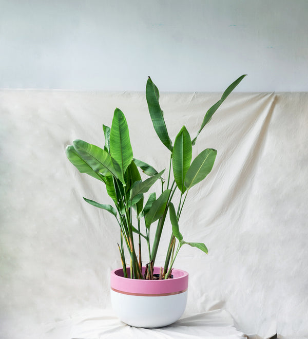 Heliconia plant in pink and white plant pot