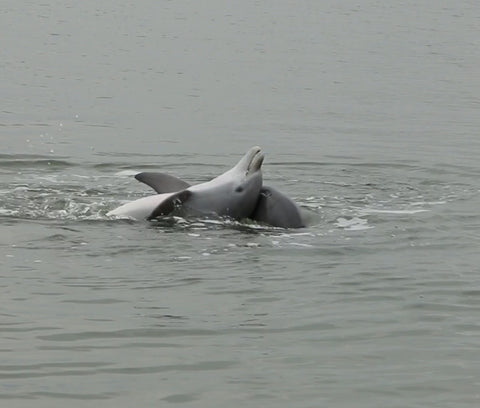 Hilton Head dolphin tours