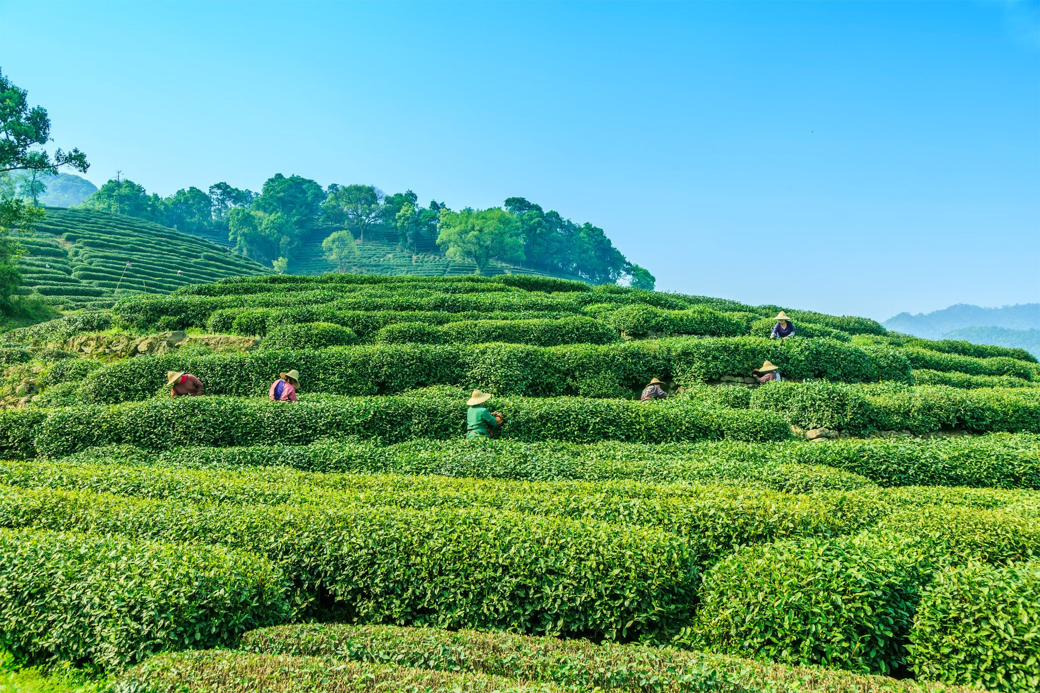 Fresh Indian tea garden