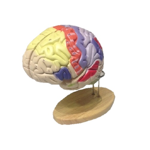 Simulador del cerebro coloreado