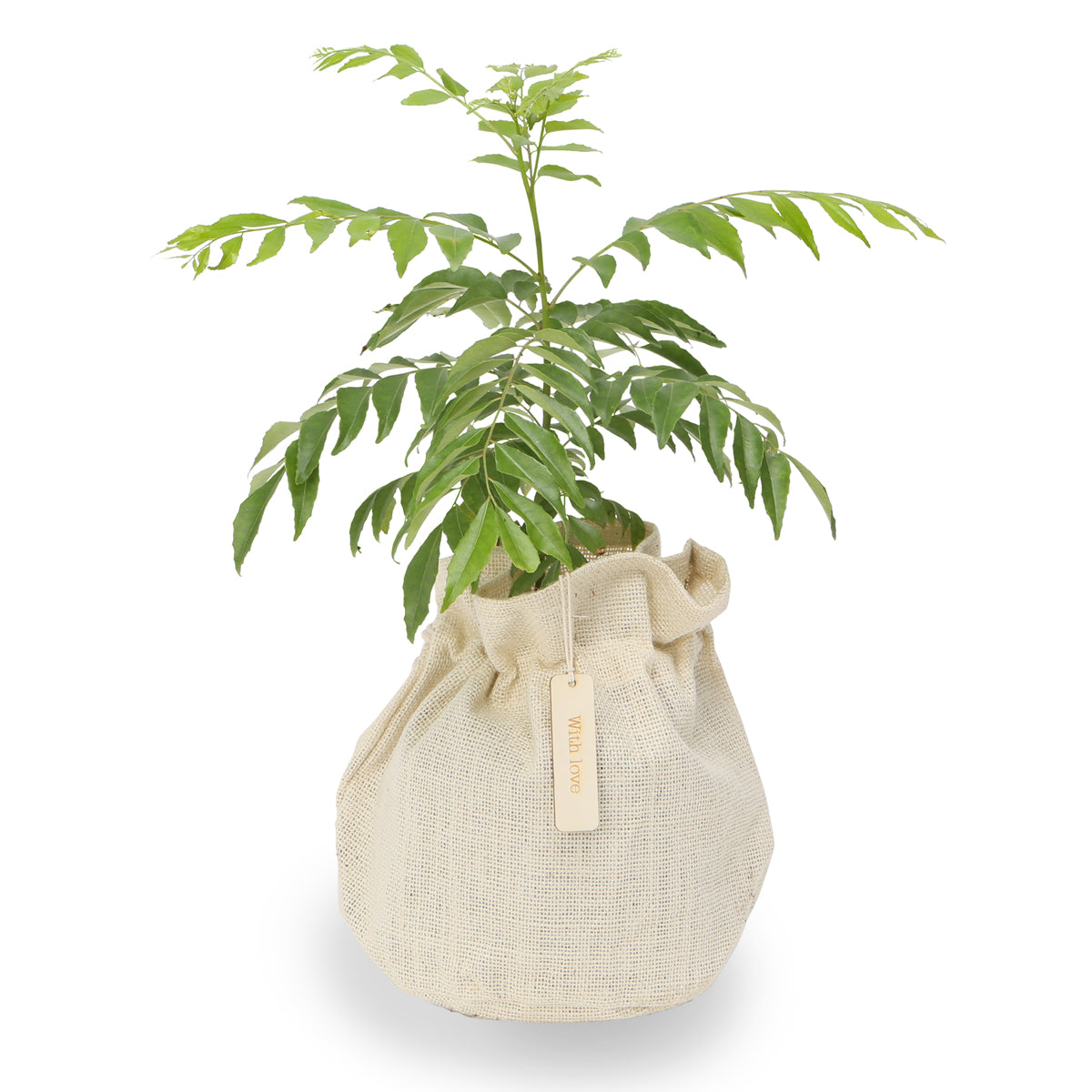 Aromatic Curry tree gift