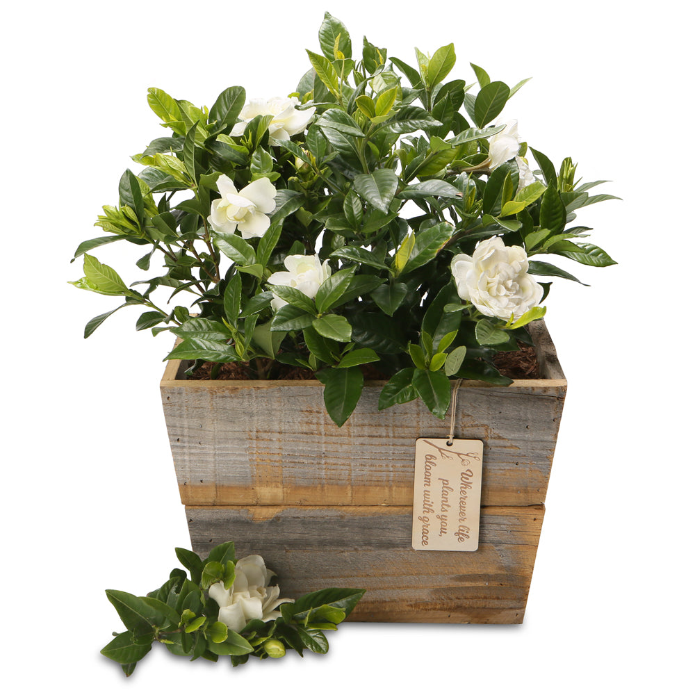 fragrant gardenia planter