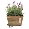fragrant lavender planter