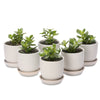 bulk jade moneytree dash pots (min 15 units)