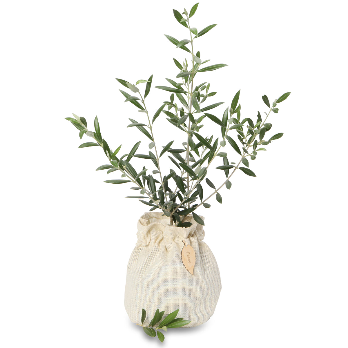 olive gift tree