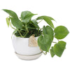 Heart Leaf Philodendron buddha Bowl